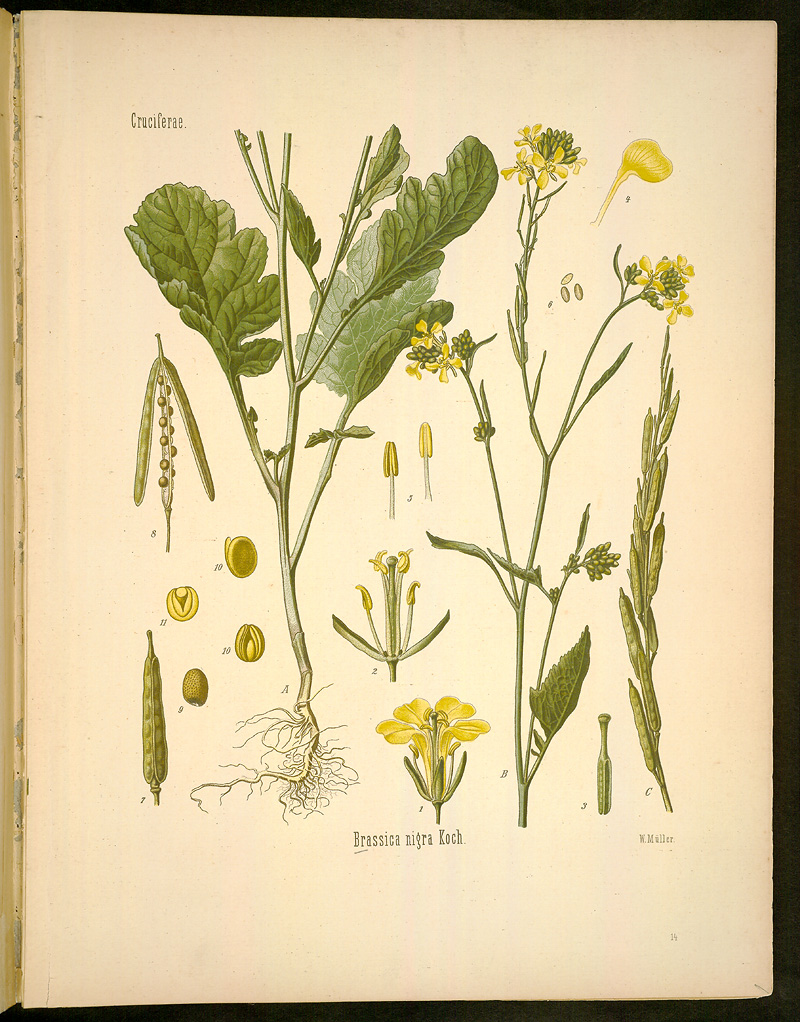 All The Little Yellow Flowersteraceae And Brassicaceae To
