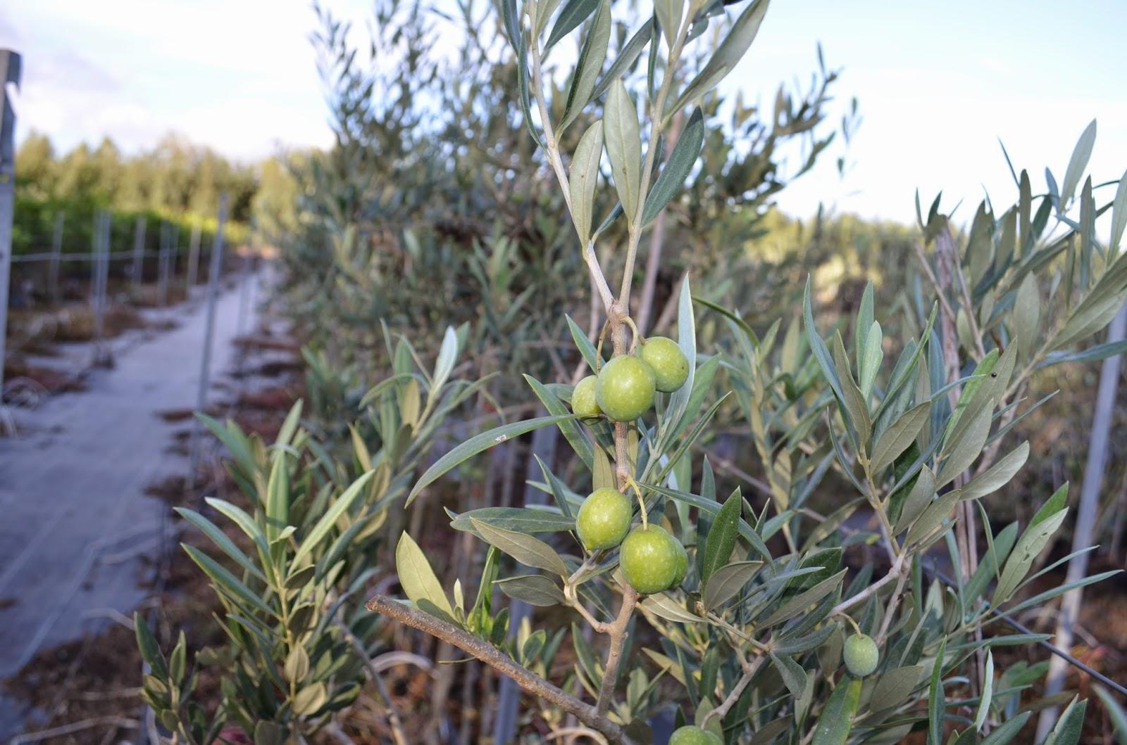 Piante fiori sementi sardegna vendita ingrosso e for Vendita piante ulivo