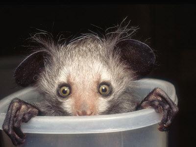 Baby aye aye lemur - photo#24