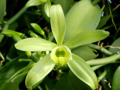 バニラを育ててみる その1   Dendrobium Blog