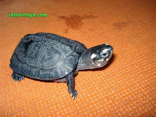 Siebenrockiella crassicollis - Tortuga negra de pantano