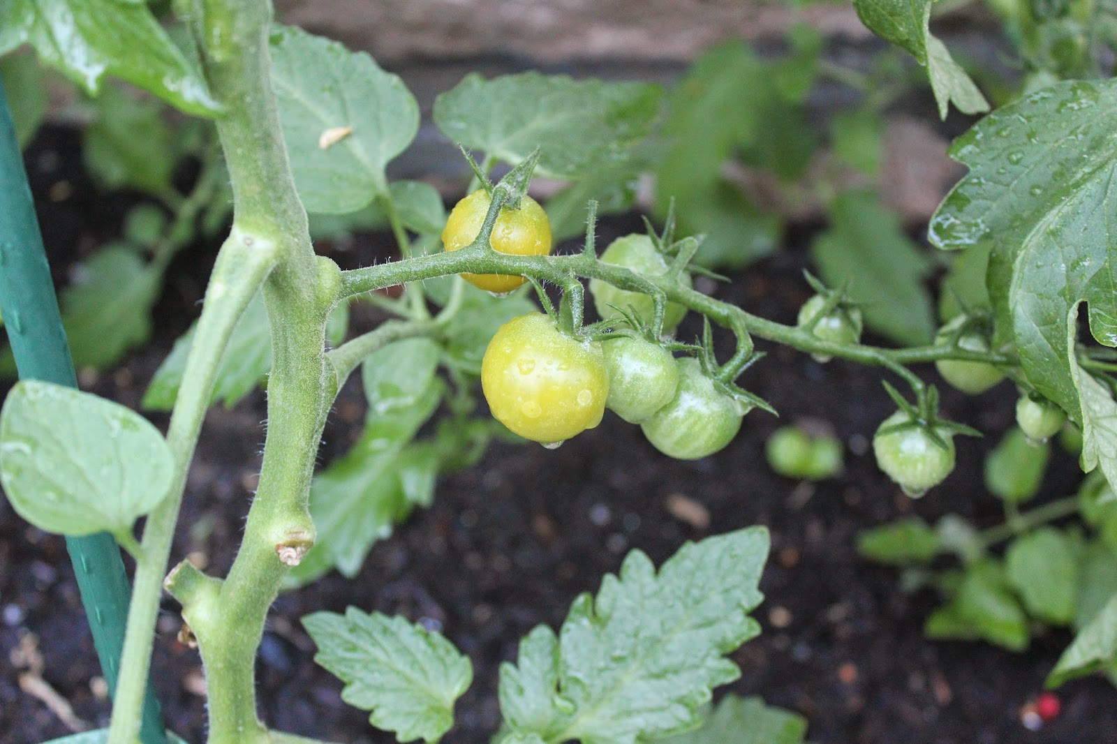 Megan from Delicious Dishings' Sun Gold tomatoes, starting to ripen