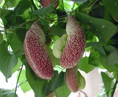 piante e fiori aristolochia rampicante dalle forme molto
