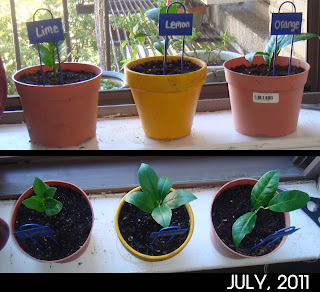 Growing Citrus | Bobbins of Basil