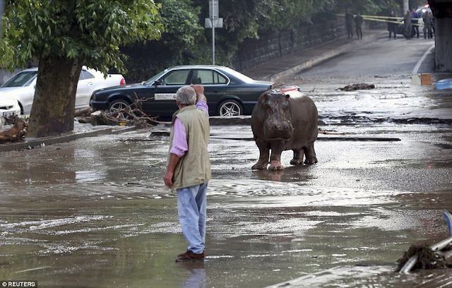 Lions, bears, tigers crocodiles and wolves roam the streets as flash floods hit Tbilisi, Georgia  299B605500000578-3123378-image-a-20_1434271869956
