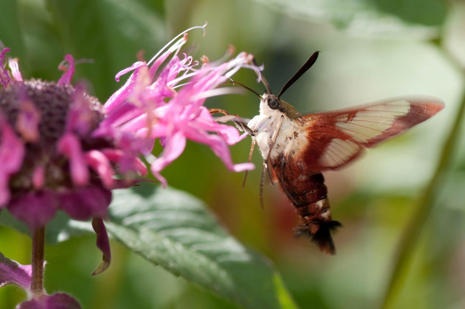 Connecticut Audubon Society Tiny hummingbird