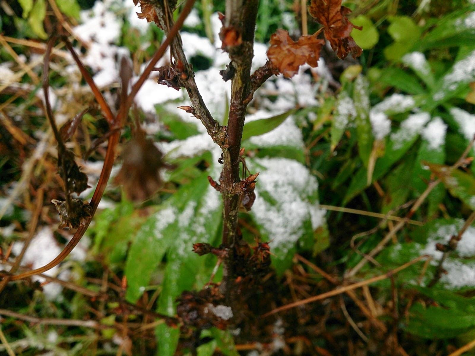 グーズベリーの芽