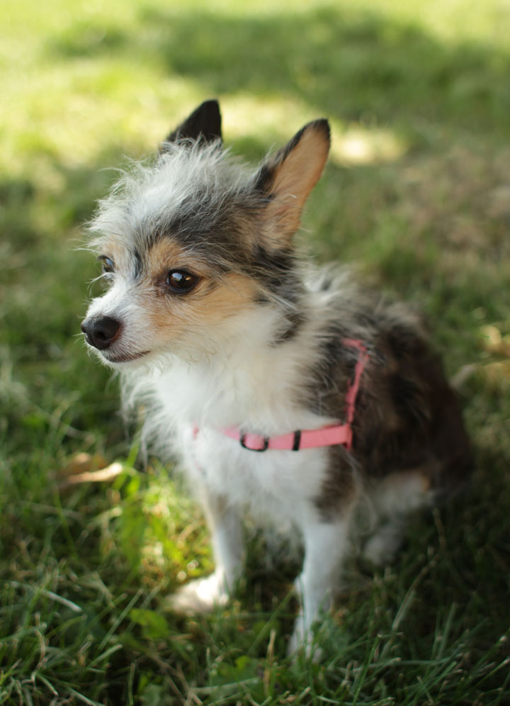 Long Haired Jack Russell Chihuahua Mix