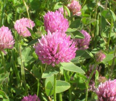 Obat Herbal Alami untuk Menopause