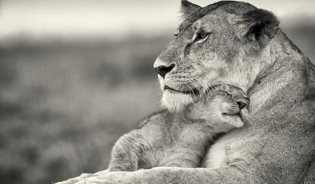 львица со своим львёнком