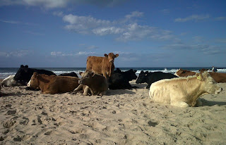 Cows on beach at White Park Bay