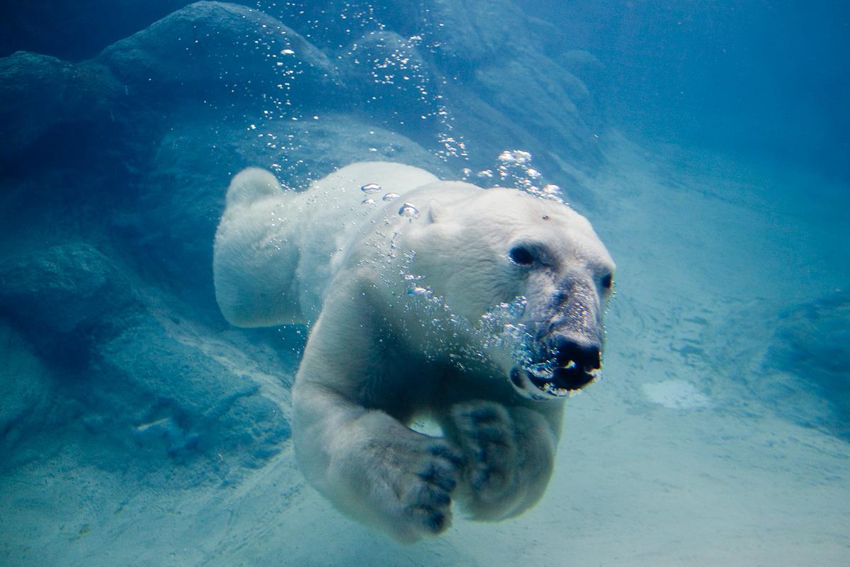 http://2.bp.blogspot.com/-BKk2jl7RTpo/Tqys_E9o_dI/AAAAAAAAEqI/DDYGMqVWWE8/s1600/Oso-Polar.3jpg.jpg