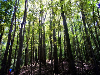 Man made forest at Bilar Bohol