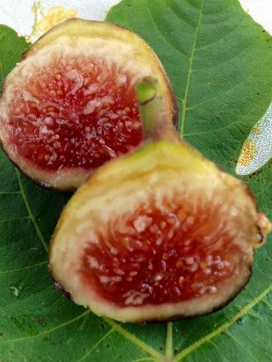 Figs : SAL GENE