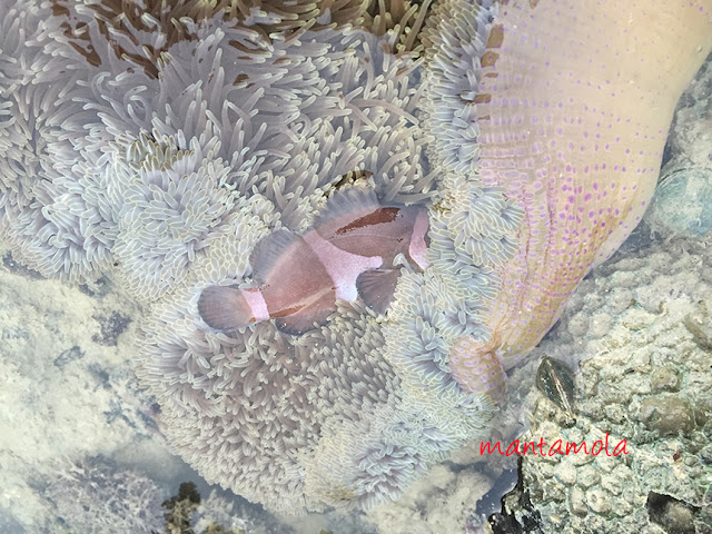 Anemone fish, Clown fish