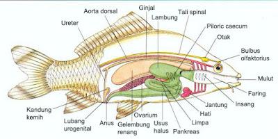 organ dalam ikan