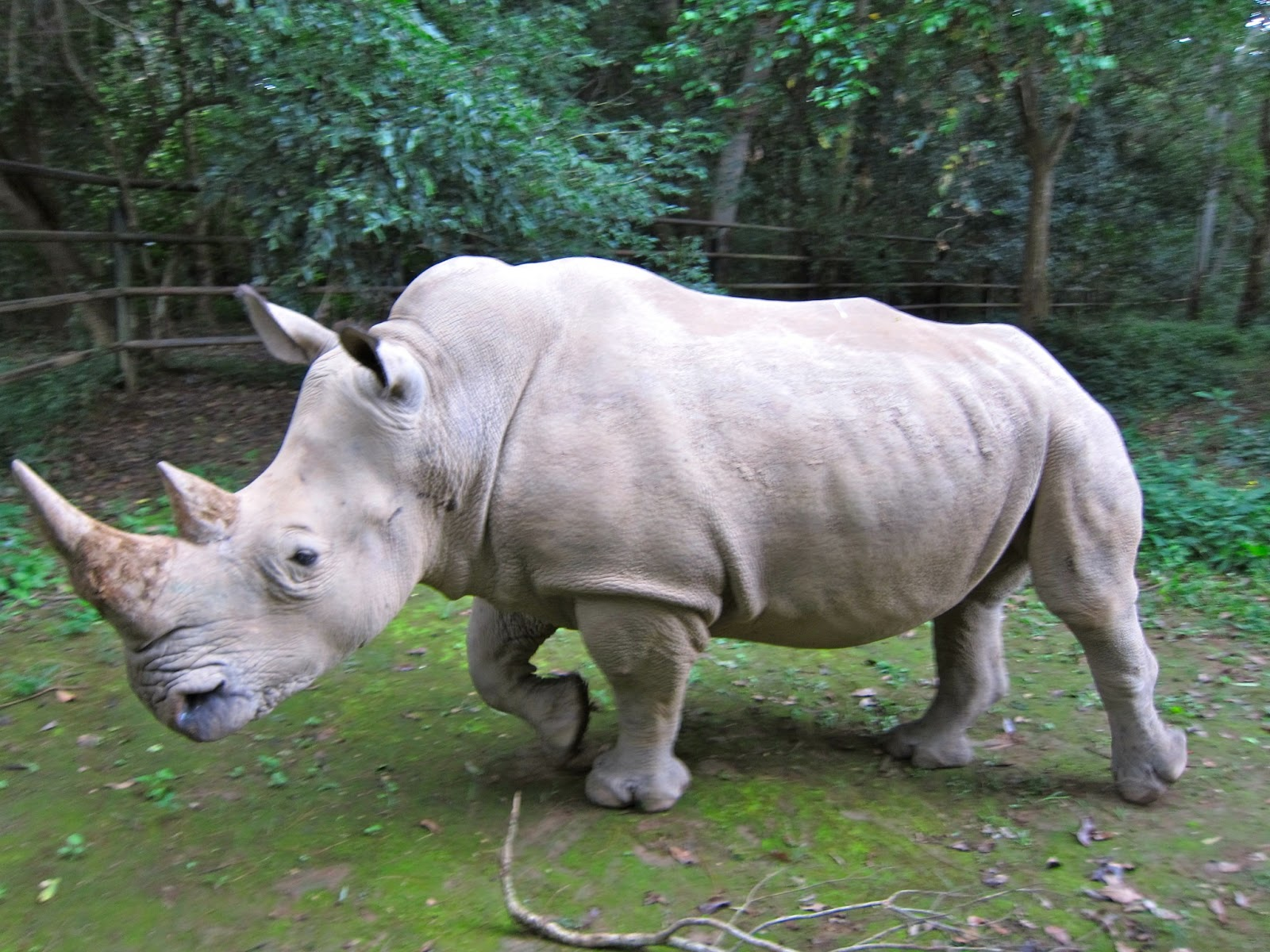 white rhino - photo #1
