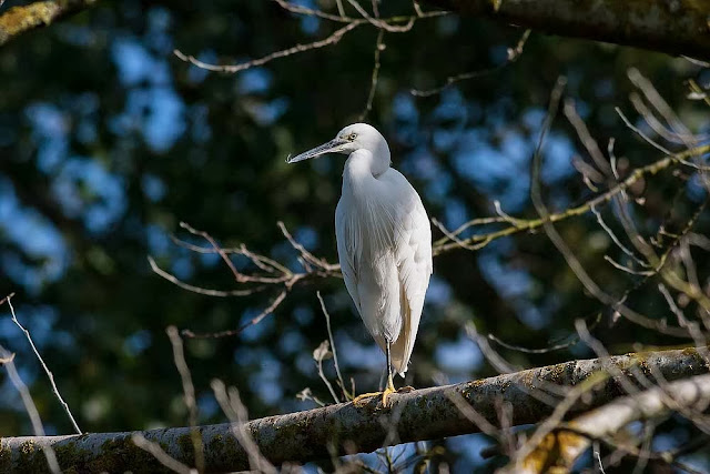 Little Egret in a tree