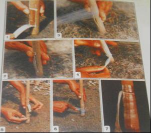 Teknik Dan Cara Okulasi Mata Tunas Pada Pohon Karet [ www.Bacaan.ME ]