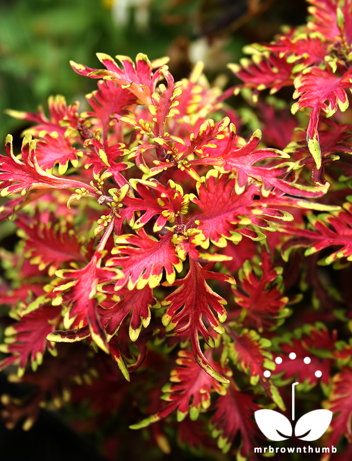 Plants Under the Sea http://mrbrownthumb.blogspot.com/2012/11/coleus-under-sea-hort-couture-collection.html