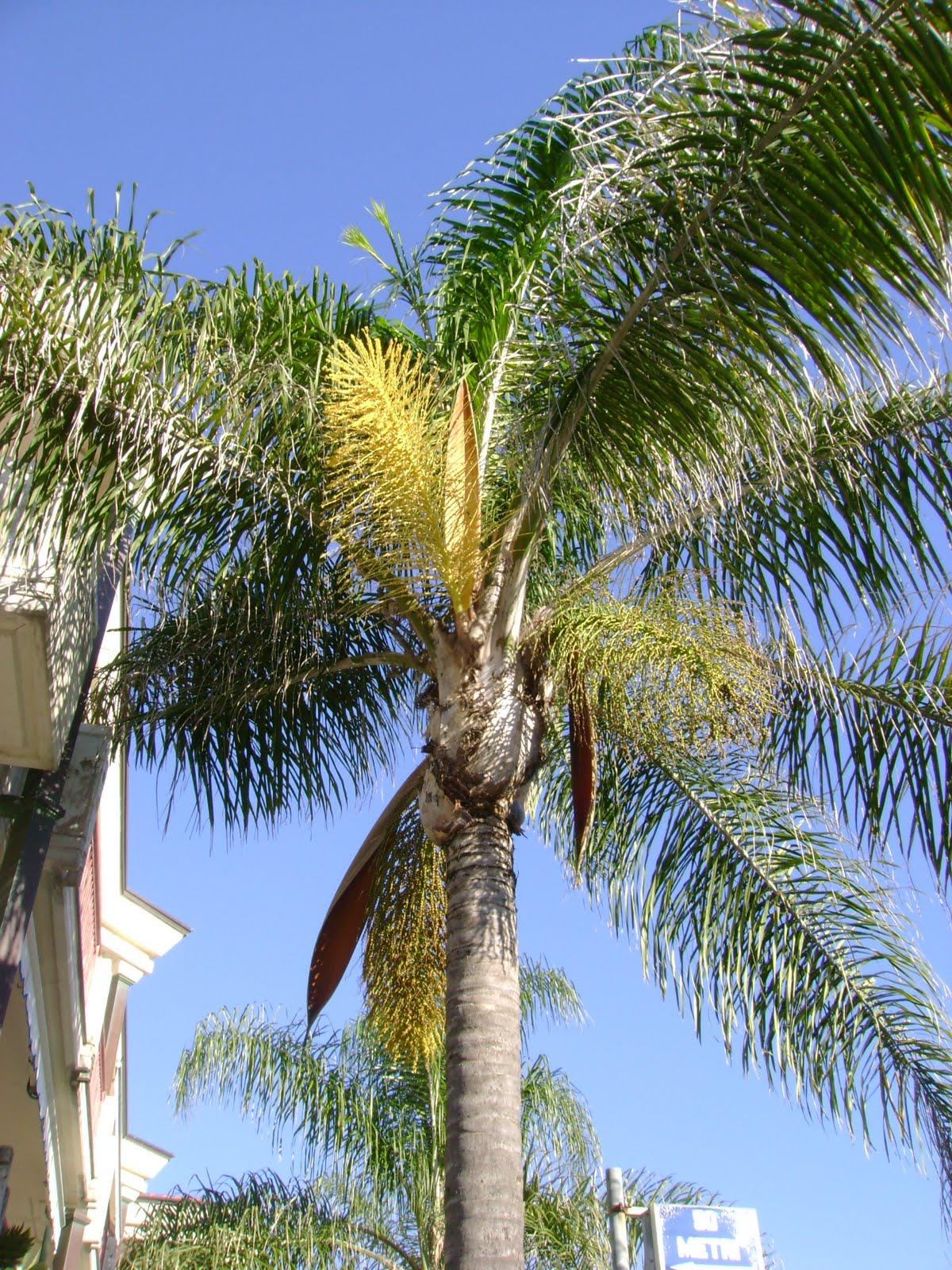 Semiriciclo syagrus romanzoffianum palma regina - Radici palma ...
