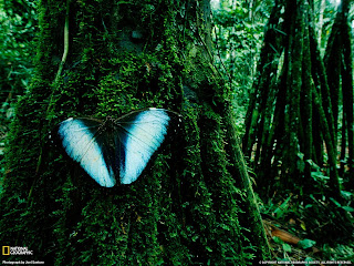 Huge Blue Butturfly on Moss Covered Tree National Geographic Photo Rain Forest Wallpaper