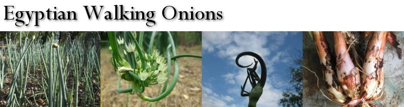 Buy Egyptian Walking Onions