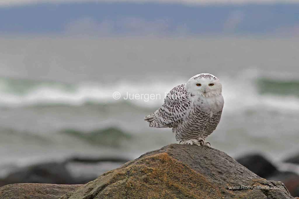 http://juergen-roth.artistwebsites.com/featured/snowy-owl-juergen-roth.html