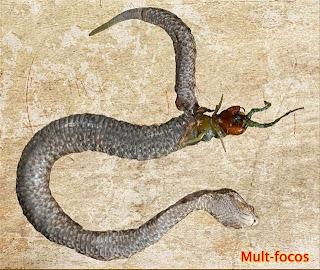 Uma centopeia saindo da barriga de uma víbora
