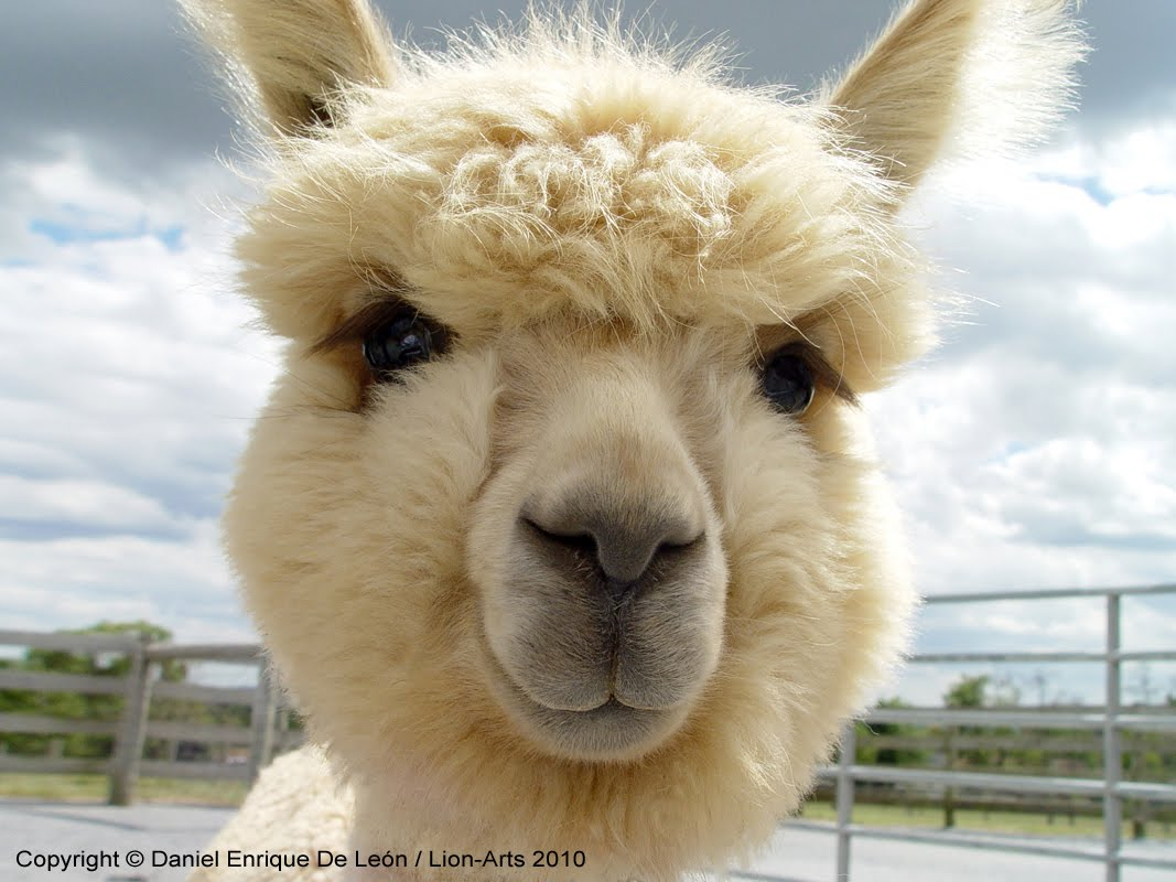 the gallery for gt fluffy baby llama