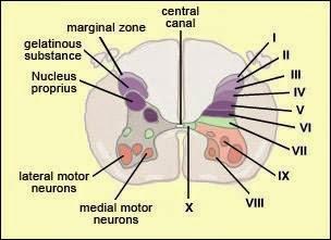 Science Voyager : Functional Anatomy of Human Rexed laminae.
