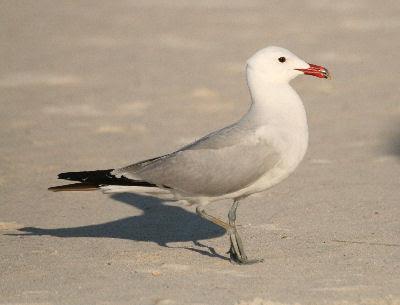 Audouin's Gull 2012