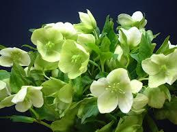Il giardino delle naiadi helleborus la rosa d 39 inverno for Elleboro bianco