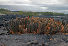 Lava Cactus(Brachycereus Nesioticus)