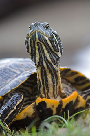Red-Eared Sliders: Basic Facts and Health Care Pet Turtles