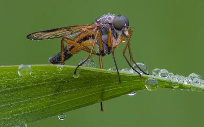 ذبابة سنيب, أفضل صور,