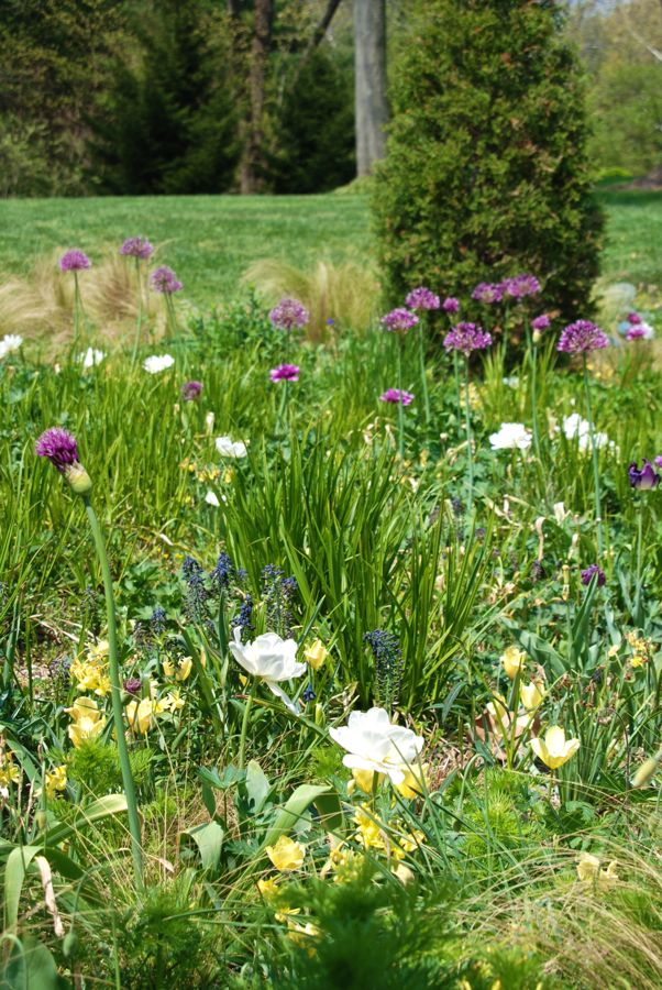 Clumps of Mexican feathergrass (Nassella tenuissima) create a cloud to frame the bulbs of spring: purple Allium 'Early Emperor', blue Muscari armeniacum 'Valerie Finnis', yellow Tulipa linifolia (Batalinii Group) 'Bronze Charm' and white Tulipa 'Madonna', among others.