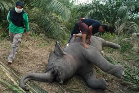 Lagi Gajah Ditemukan Mati di Kebun Sawit