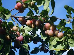 Ota yhteyttä taimikauppiaseen jos sinäkin haluat kriikuna, kirsikka- ja hevoskastanjoita pihaasi