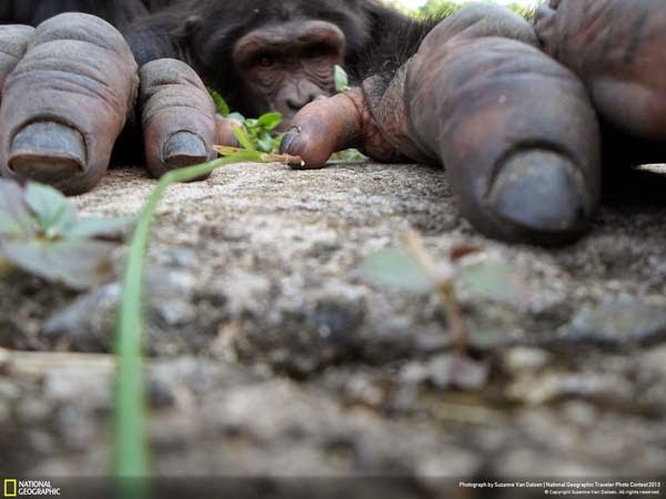 2.)  This curious chimp - 12 Photos That Prove Nature is Awesome