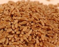 Wheat-grain