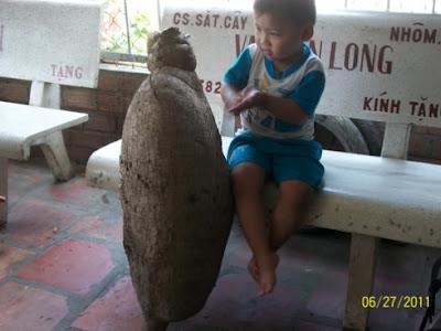 Ubi kayu gergasi di Vietnam
