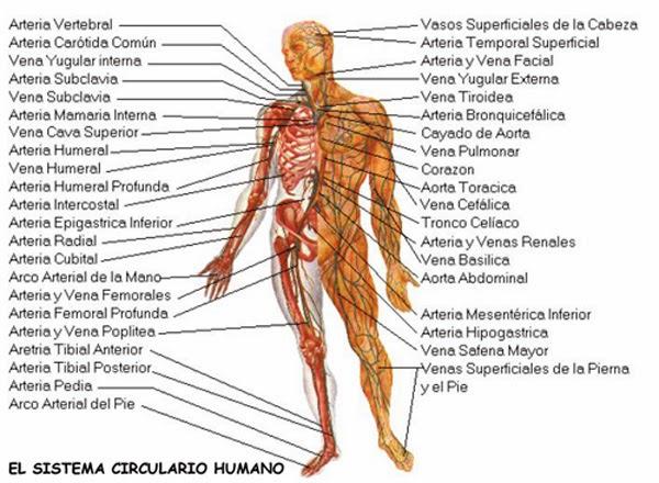 El Corazón y Sus Funciones: Vista frontal de un corazón humano.