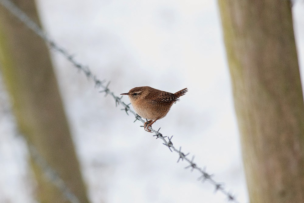 Winter Wren (on fence) - Manor Farm, Milton Keynes