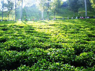 pemandangan kebun teh, http://kebuntehwonosari.blogspot.com/, 085755059965