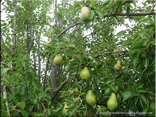 our pear tree laden with pears