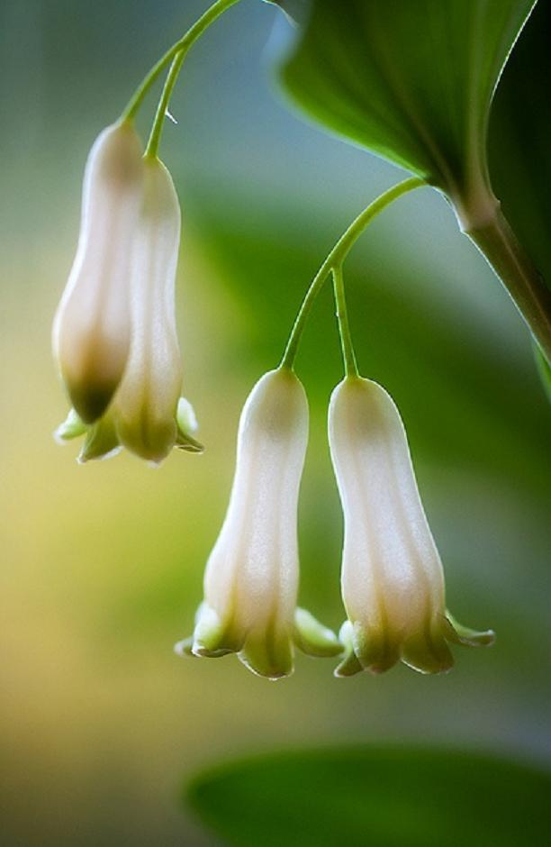 Solomon's Seal by Mandy Disher