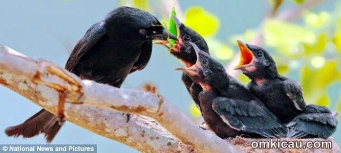 Foto Burung Tuwu Terbaik