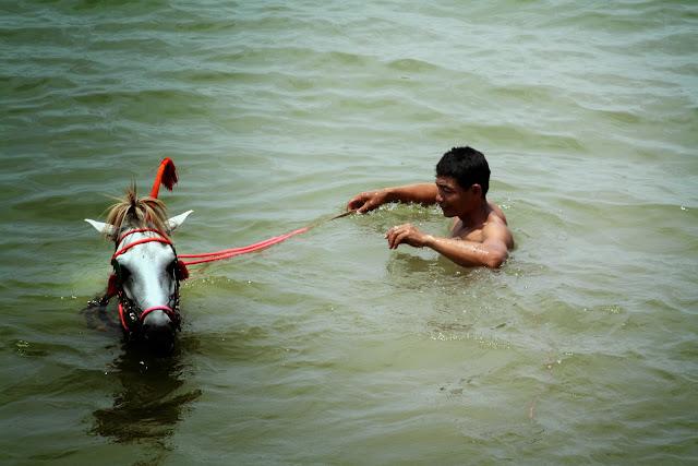 Où en est l'élevage du cheval au Cambodge ? Cette rapide rétrospective ne va pas sans une pointe d'émotion, car le temps pourtant si proche paraît a jamais révolu où le voyageur était assuré de pouvoir trouver dans chaque village cambodgien plusieurs solides poneys. Il y avait alors au Cambodge environ 40.000 chevaux, on n'en trouverait pas 4.000 à l'heure actuelle. J'arrondis à dessein Ces chiffres qui représentent un degré suffisant d'approximation. Les sujets les plus réussis ont été attirés par le champ de courses de Saïgon, ou bien retenus pour la remonte de l'armée et, dans les deux cas, écartés de la reproduction et perdus pour l'élevage cambodgien.