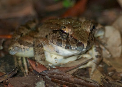Giant River Frog (Limnonectes leporinus)